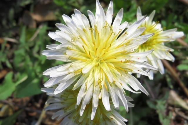 白いタンポポは珍しい?その特徴や花言葉を紹介!開花時期や生息地は?