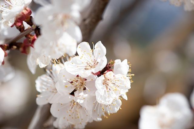 豊後梅の特徴や育て方とは?豊後梅を用いた梅酒などのレシピもご紹介!