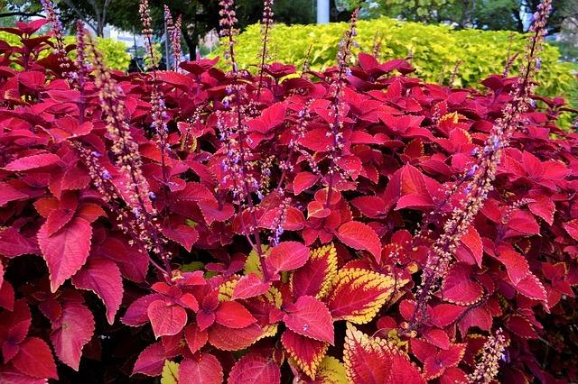 コリウスの育て方!カラフルな葉が美しい植物の管理のポイントを解説!