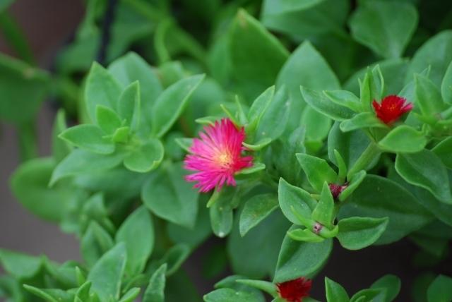 ベビーサンローズの育て方!冬でも枯らさず可愛い花を咲かせるには?