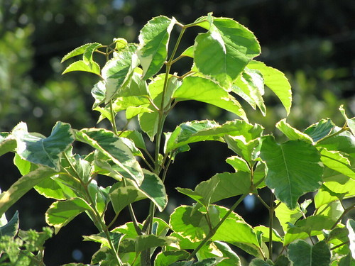 ポリシャスとは?その種類と育て方を紹介!植え替えや挿し木のコツは?