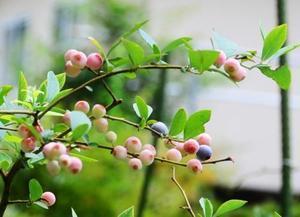 鉢植えブルーベリーの最適な植え替え時期はいつ?土作りはどうする?
