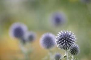ルリタマアザミとは?種類・花言葉・育て方から生花などアレンジ術まで紹介!