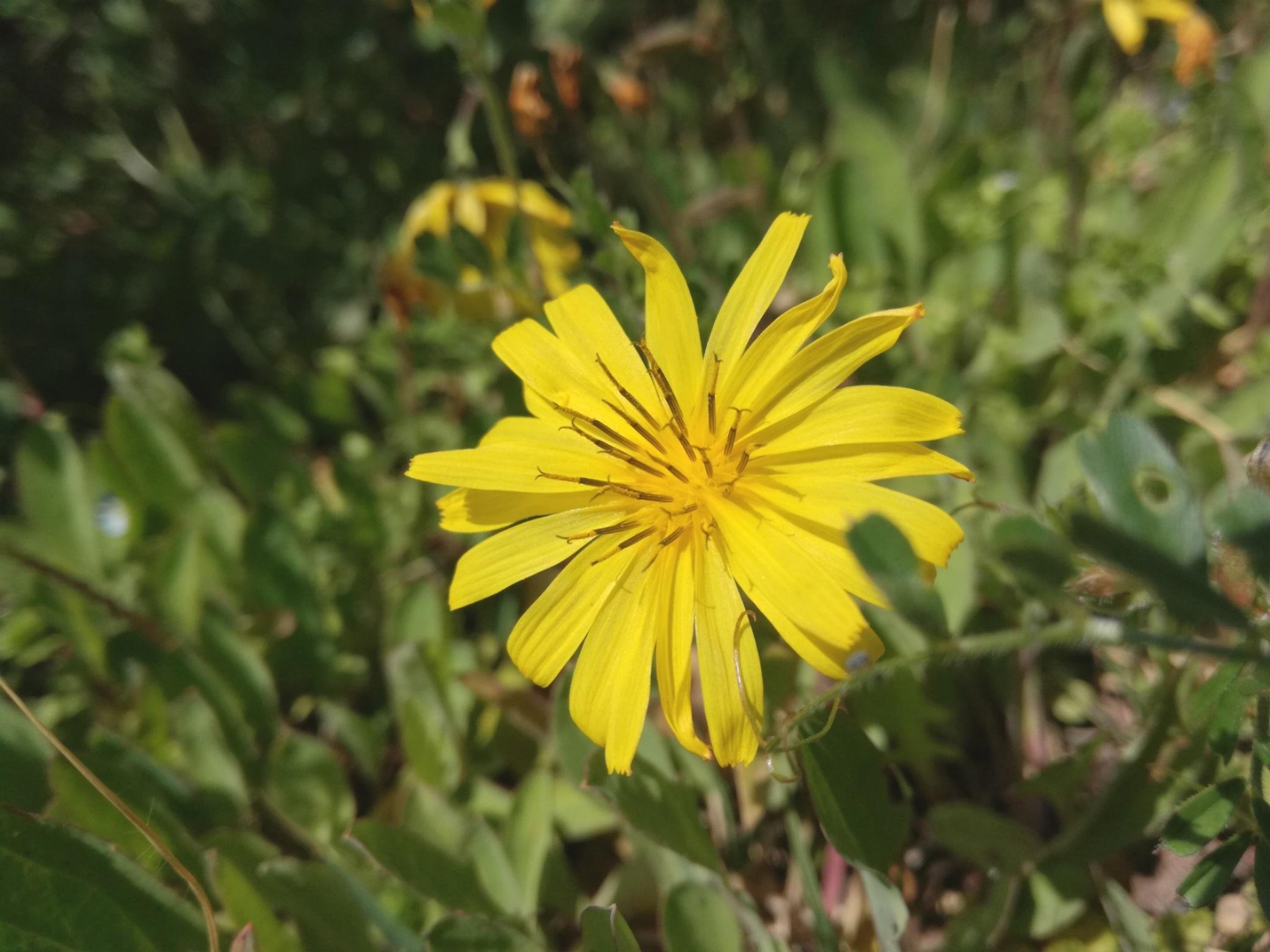 ジシバリ(イワニガナ)とは?その特徴や花言葉を解説!オオシシバリとの違いは?