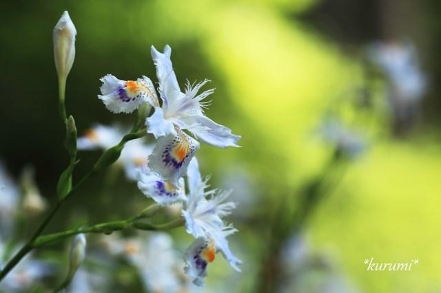 シャガとは?可憐な花の特徴や花言葉を紹介!自宅の庭にも植えられる?
