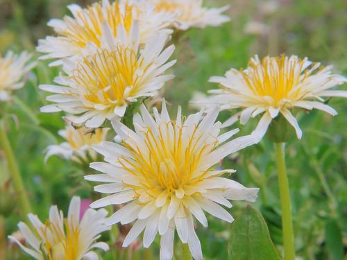 シロバナタンポポとは?その特徴や花言葉を紹介!開花時期や生息地は?