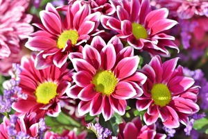 スプレー菊(スプレーマム)とは?その種類や花言葉・育て方をご紹介!