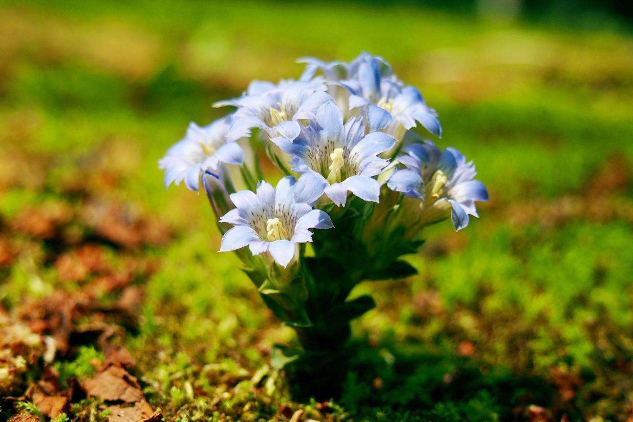 フデリンドウとは?その特徴や花言葉をご紹介!ハルリンドウとの違いは?