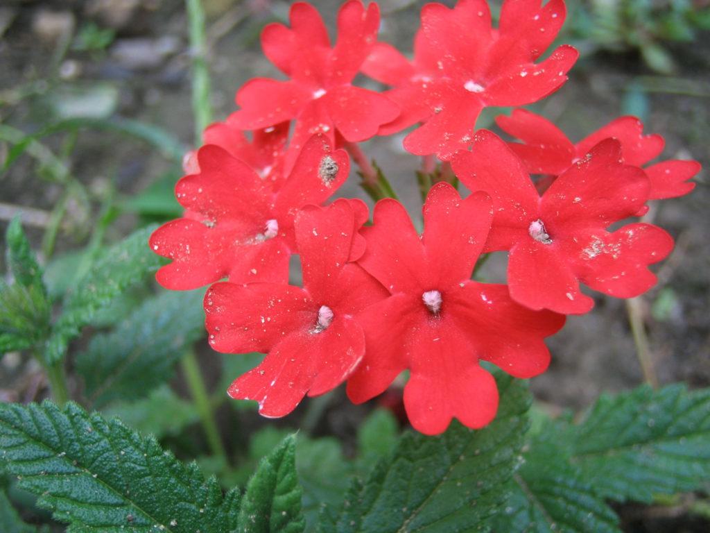 サンブリテニア・スカーレットの育て方!綺麗な赤を咲かせる管理方法とは?