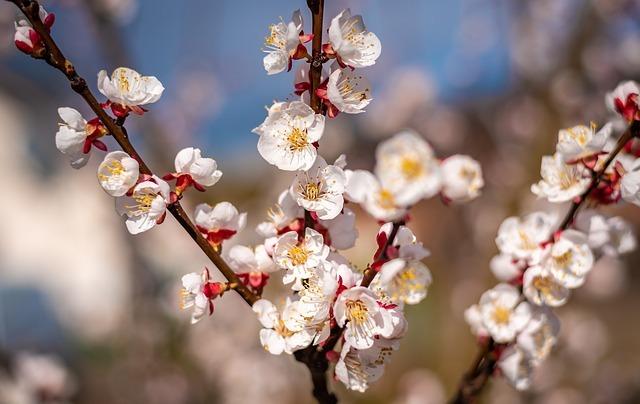 杏とは?その効果や食べ方から、花の特徴や花言葉まで一挙ご紹介!
