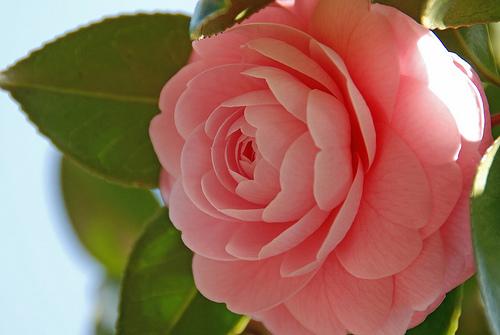 乙女椿とは?その美しい花の特徴や花言葉、山茶花との見分け方まで紹介!