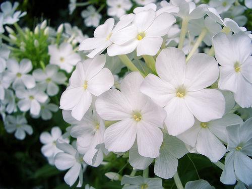 花魁草とは?花言葉や名前の由来を紹介!そもそも花魁ってどんな意味?