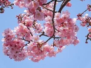 寒桜とは?早咲きの桜の開花時期や花言葉を紹介!おすすめの名所は?