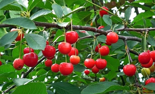 さくらんぼの木とは?実がなる桜の木の種類(品種)と開花時期を紹介!