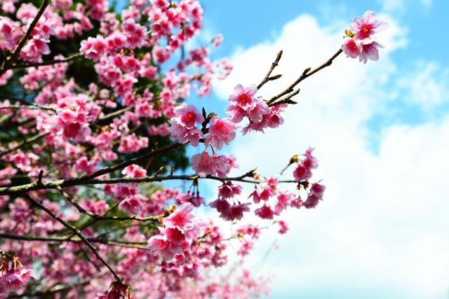 寒緋桜(カンヒザクラ)とは?沖縄に咲く桜の特徴と花言葉をご紹介!