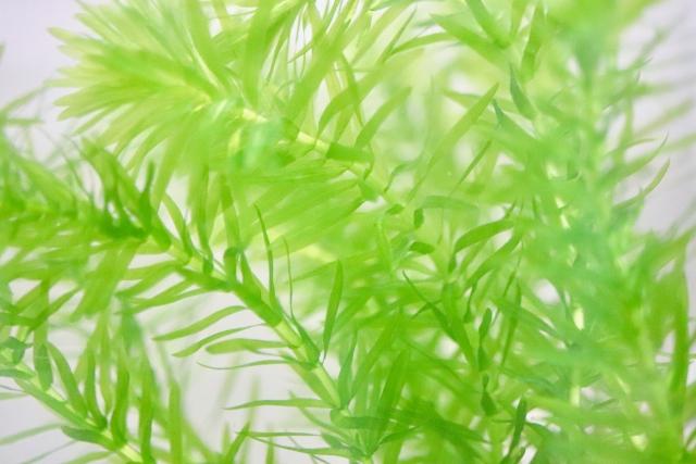 オオカナダモ(アナカリス)とは?繁殖力の強い水草の概要をご紹介!
