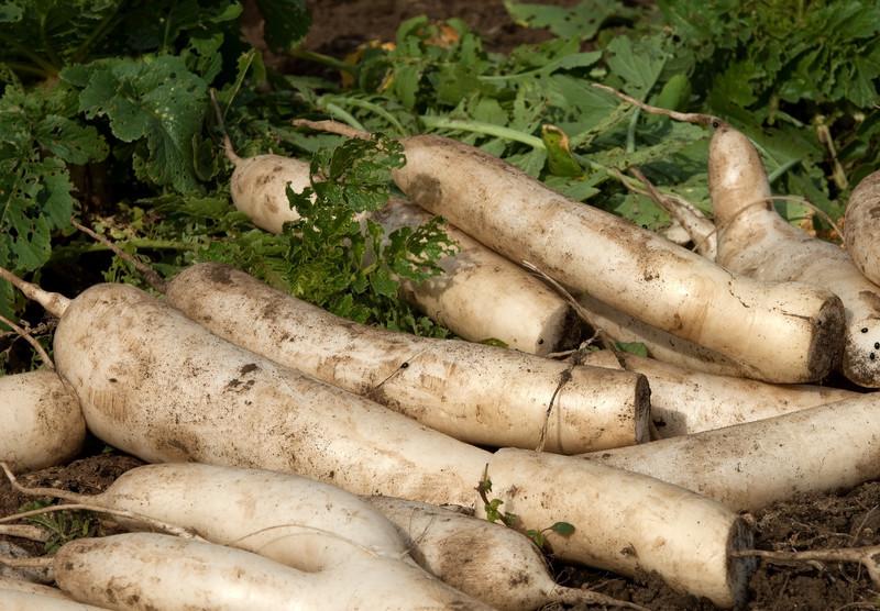 蘿蔔(すずしろ)とは?春の七草ともされる食材の効能や食べ方をご紹介!