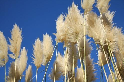 パンパスグラスとは?ススキに似た植物の特徴と育て方のコツをご紹介!