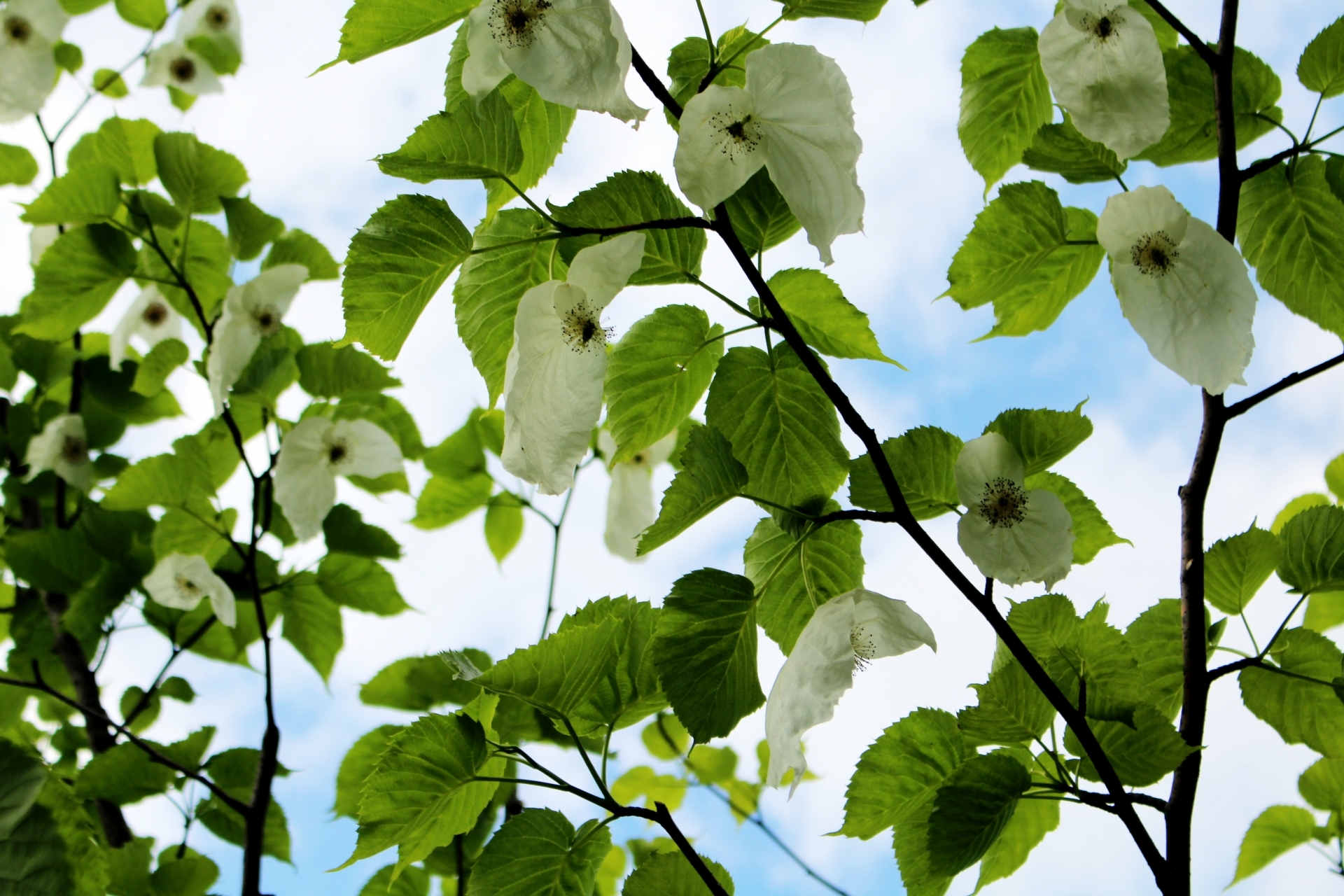 ハンカチの木とは?その特徴や名前の由来をご紹介!実は食べられる?