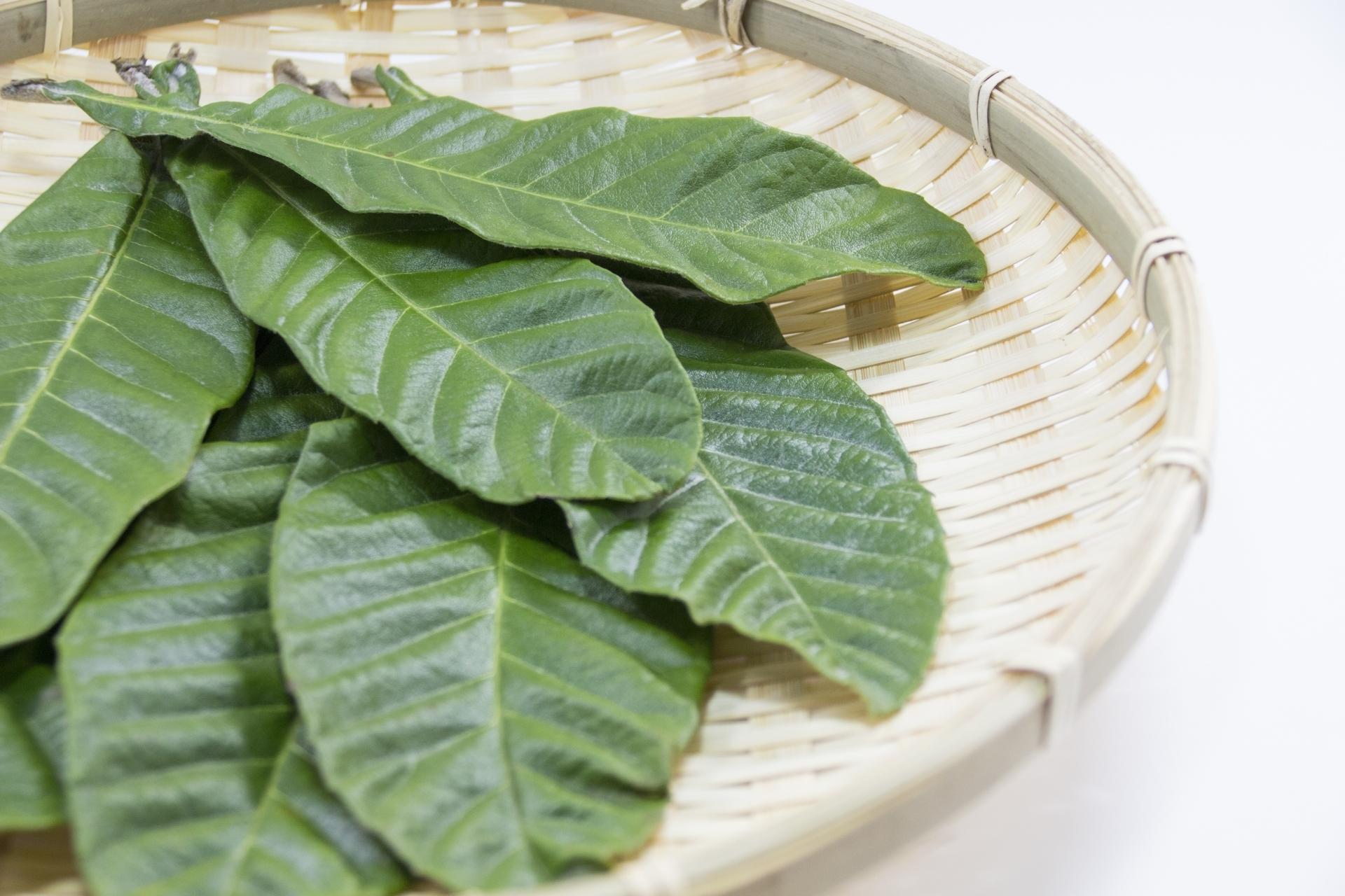 びわの葉エキスの活用方法を7つご紹介!湿布や化粧水としても効果あり?
