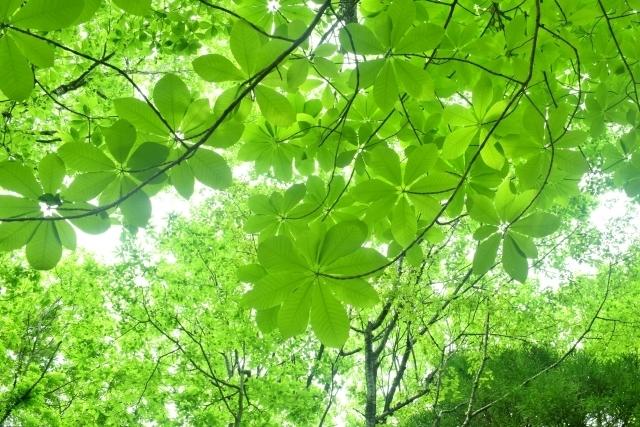 朴の木(ホオノキ)とは?朴葉でも知られる葉をもつ樹木について解説!