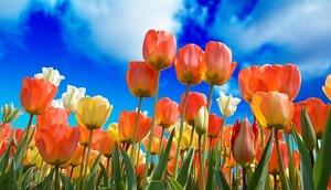 チューリップ球根の正しい保存方法を紹介!翌年も花を咲かせるコツは?