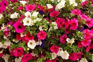 ペチュニアの上手な寄せ植え方法!季節ごとに相性の良い草花もご紹介!