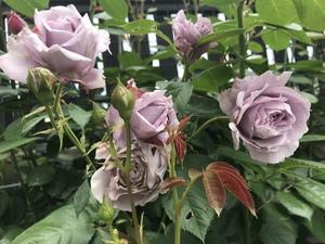ノヴァーリスってどんなバラ?青バラ品種としての特徴や育て方とは?