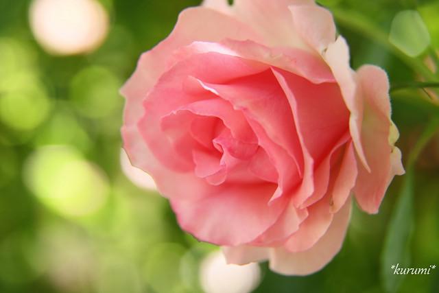 バラの種類まとめ!品種名・学名・特徴・色・香りなどを一覧でご紹介!