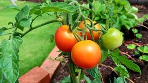 中玉トマト(フルティカ)の育て方!苗から上手に栽培するコツをご紹介!
