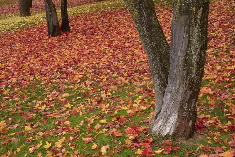 落葉樹とは?庭木やシンボルツリーで人気の品種を15種紹介!常緑樹とはどう違う?