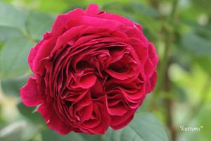 つるバラの人気品種10選!初心者向けから四季咲きの薔薇まで一挙ご紹介!
