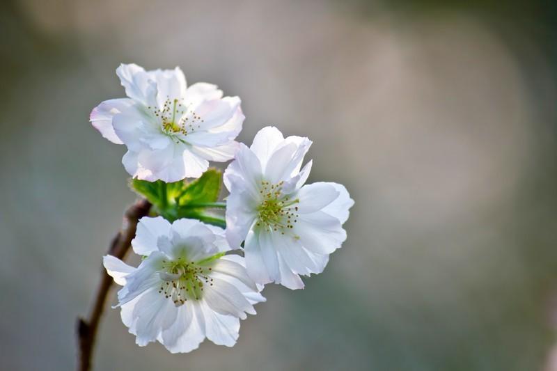 十月桜(ジュウガツザクラ)とは?秋に咲く桜の概要や名所をご紹介!