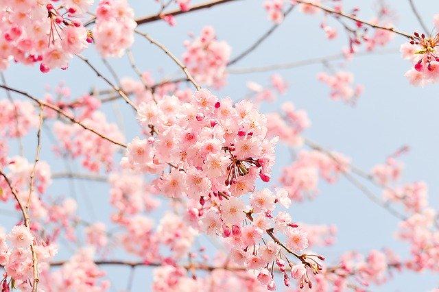 桜の種類・品種まとめ!それぞれの特徴や開花時期を一覧でご紹介!