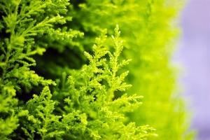ゴールドクレストとは?葉の香りなどの魅力を解説!コニファーとの違いは?