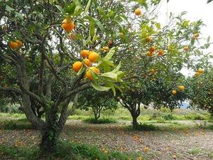みかんの木の育て方!種や苗木を植えてから収穫までの歳月はどれくらい?