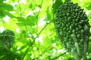 ゴーヤでグリーンカーテンを作る方法とは?栽培手順を詳しく解説!