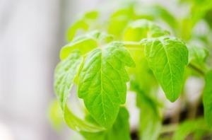 接木苗とは?そのメリットや実生苗との違いを紹介!接木すべき野菜は?