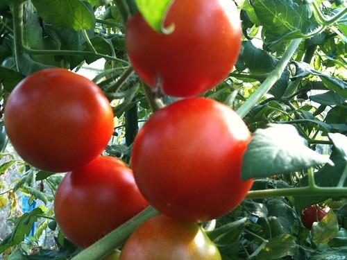 トマト・ミニトマトの増やし方!脇芽で上手く挿し木する方法をご紹介!