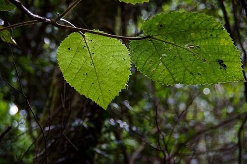 ギンピ・ギンピとは?世界一危険ともいわれる植物の概要・毒性を解説!