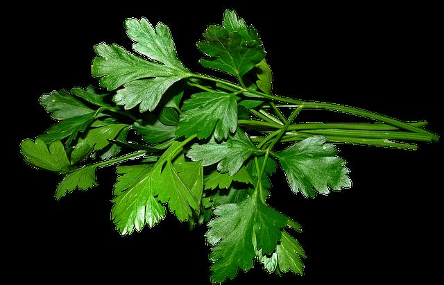 【栽培中】イタリアンパセリの育て方!種まきから収穫方法、食べ方までをご紹介!