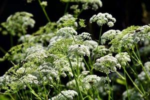 【栽培中】チャービルの育て方!乾燥や病害虫対策を含めて栽培のコツをご紹介!