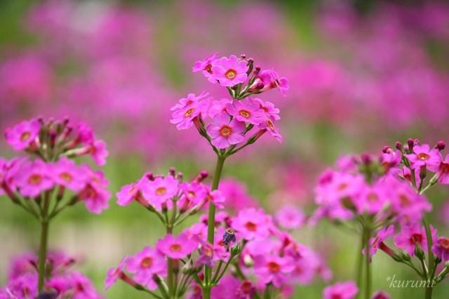 クリンソウとは?日光(千手ヶ浜)などに群生する草の特徴や花言葉をご紹介!