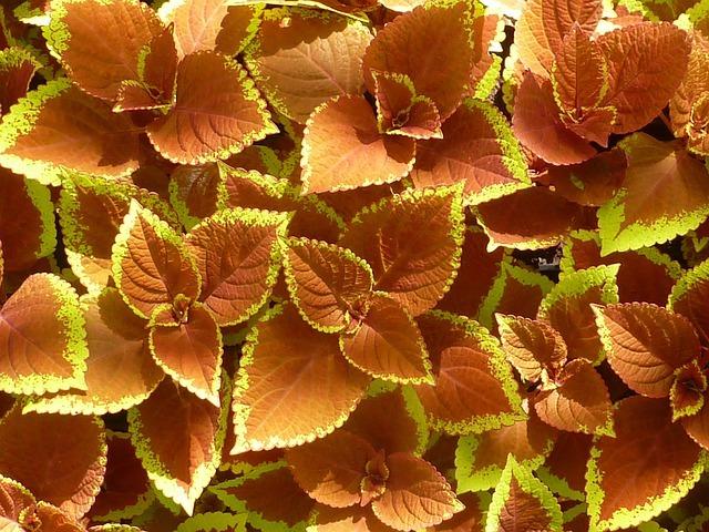 カラーリーフとは?銅葉やシルバーリーフなど葉を楽しむ植物をご紹介!