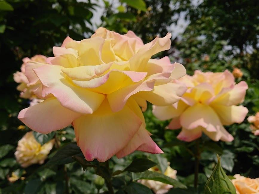 殿堂入りのバラ17種!世界バラ会議で選出された品種を一覧でご紹介!