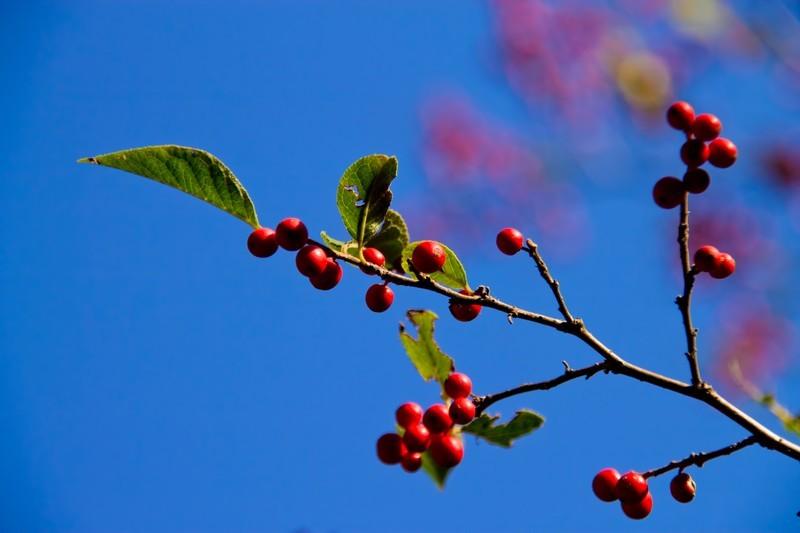 山桜桃(ゆすら)とは?意味や読み方をご紹介!山桜桃梅との関係は?
