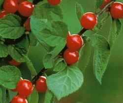 山桜桃梅(ユスラウメ)の花言葉と育て方!剪定や挿し木のやり方は?