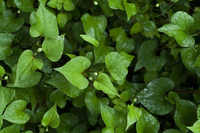 どくだみの効率的な駆除方法まとめ!地下茎や根っこまで退治するコツは?