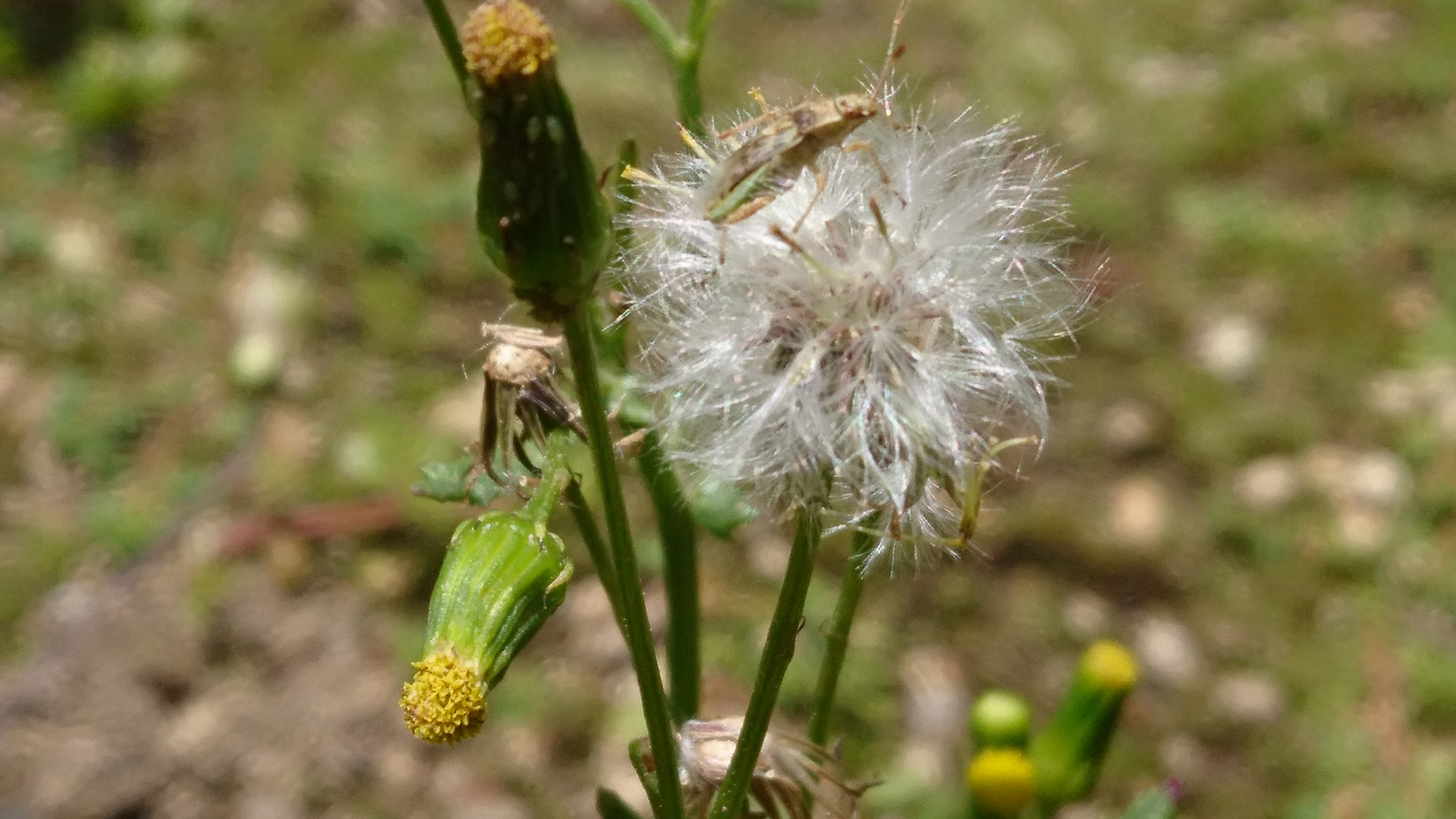 ノボロギクとは?その特徴や生態をご紹介!雑草としての駆除方法は?