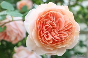 バラへの上手な肥料の与え方!元肥や追肥におすすめの肥料もご紹介!